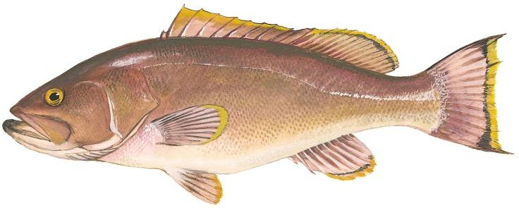Yellowedge-Grouper
