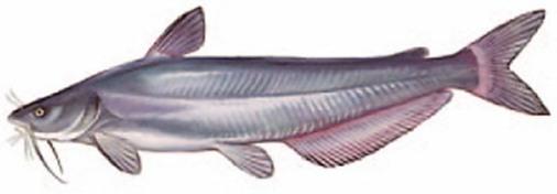 Virginia-Fishes-Blue-Catfish